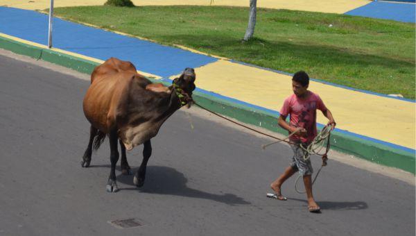 vaca-tinhosa1