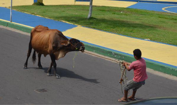 vaca-tinhosa2