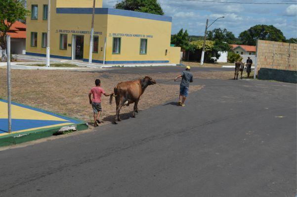 vaca-tinhosa4