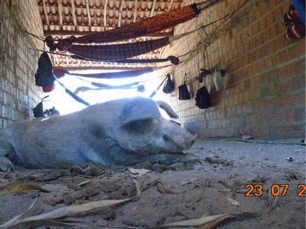trabalhadores-porcos-pi2